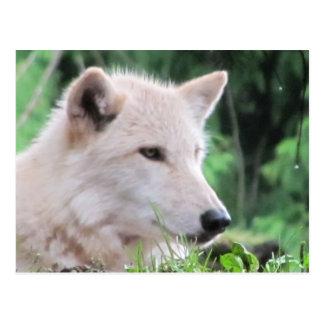 プロフィールの上の白いオオカミの終わり ポストカード