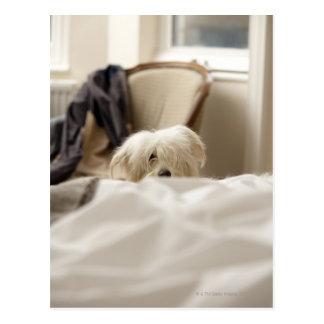 ベッド(差動焦点)の後ろに隠れている白い犬 ポストカード