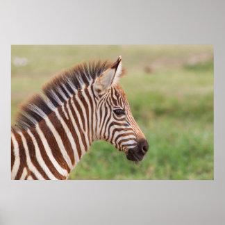 ベビーのシマウマの頭部、タンザニア ポスター