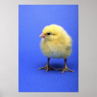 ベビーの鶏 ポスター
