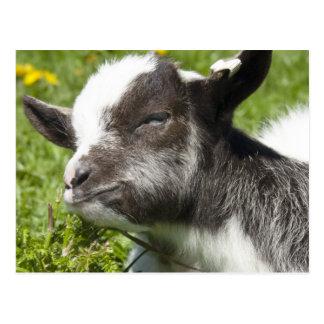 ベビーのBagotのヤギ|のまれな品種 ポストカード