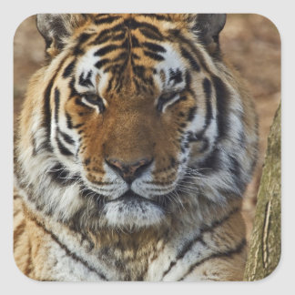 ベンガルトラ、ヒョウ属チグリス川、ルーイスビルの動物園、 スクエアシール
