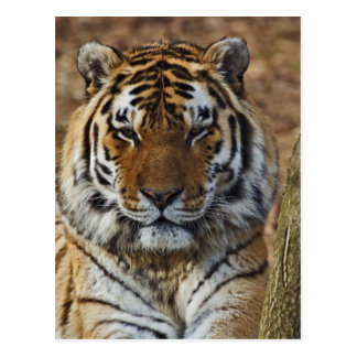ベンガルトラ、ヒョウ属チグリス川、ルーイスビルの動物園、 ポストカード
