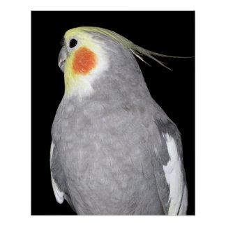ペット鳥のCockatielの写真 ポスター