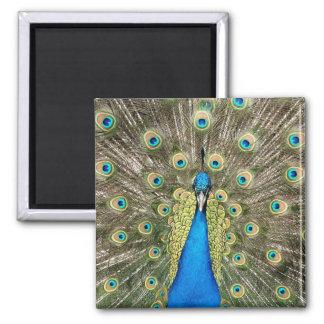 ペドロの孔雀はカラフルな野生の鳥のクジャクに羽をつけます マグネット