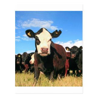 ホルスタイン牛 ポストカード