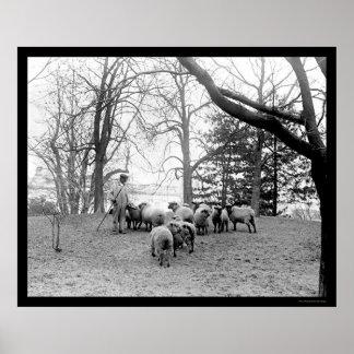 ホワイトハウスの芝生1912年で牧草を食べているヒツジ ポスター