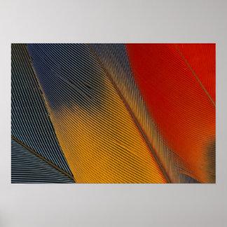 ホンジュラス。 絶滅寸前の深紅のコンゴウインコの羽、 ポスター