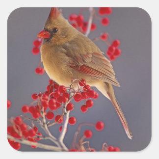 ホーソーンの中のメスの北の(鳥)ショウジョウコウカンチョウ スクエアシール