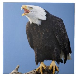 、ホーマー呼んでいる、白頭鷲アラスカ、Haliaetus 正方形タイル大