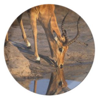ボツワナのChobeの国立公園、Bullのインパラ プレート