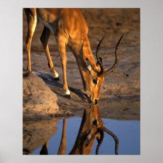 ボツワナのChobeの国立公園、Bullのインパラ ポスター