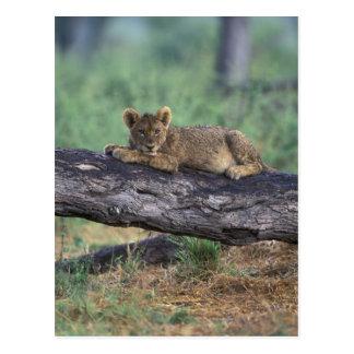 ボツワナのMoremiのゲームの予備、ライオンの子 ポストカード