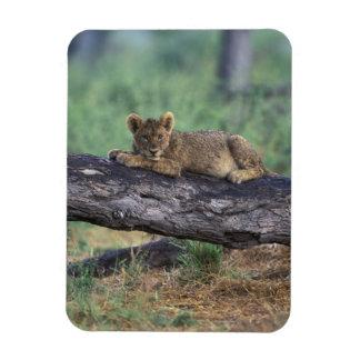 ボツワナのMoremiのゲームの予備、ライオンの子 マグネット