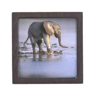 ボツワナのMoremiのゲームの予備、若い象 ギフトボックス