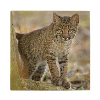 ボブキャット、ネコ属のrufus、Wakodahatcheeの沼地、 ウッドコースター