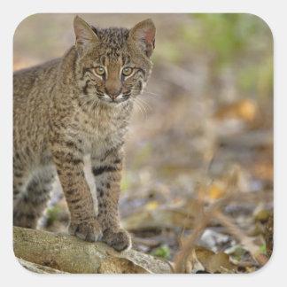 ボブキャット、ネコ属のrufus、Wakodahatcheeの沼地、 スクエアシール