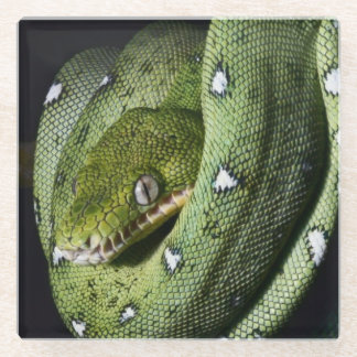 ボリビアの緑の木のヘビのエメラルドのボア ガラスコースター