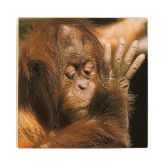 ボロネオ。 捕虜のオランウータン、かpongo pygmaeus. ウッドコースター