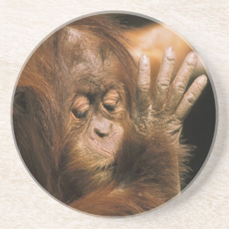 ボロネオ。 捕虜のオランウータン、かpongo pygmaeus. コースター