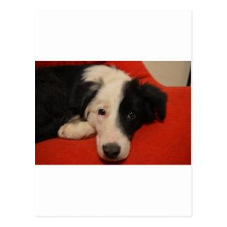 ボーダーコリー犬 ポストカード