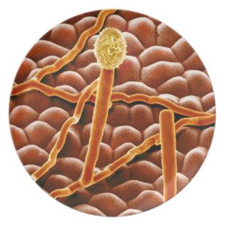 ポインセチアのうどんこ病の菌類 プレート