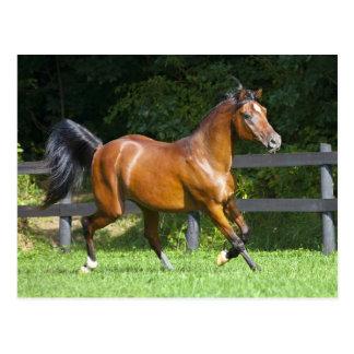 ポーランドにアラビアに馬の小走りに走ること ポストカード