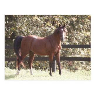 ポーランドのアラビアの馬 ポストカード