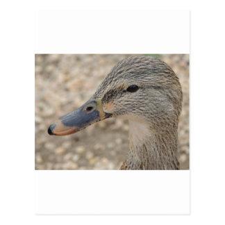 マガモのアヒルの女性 ポストカード