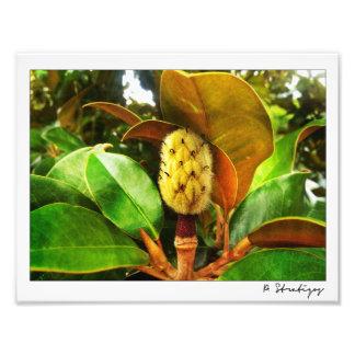 マグノリアの芽の写真のプリント フォトプリント