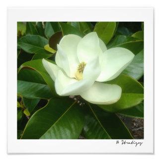 マグノリアの開花の写真のプリント フォトプリント