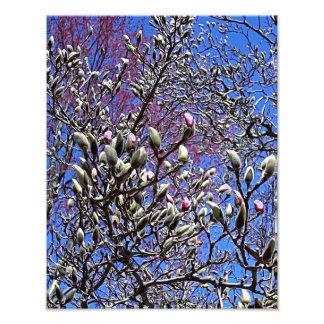 マグノリア、芽の固まり フォトプリント