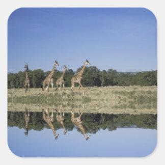 マサイ族のキリン、Giraffaのcamelopardalis、マサイ語 スクエアシール