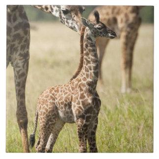 マサイ族のキリン、Giraffaのcamelopardalis 2 タイル