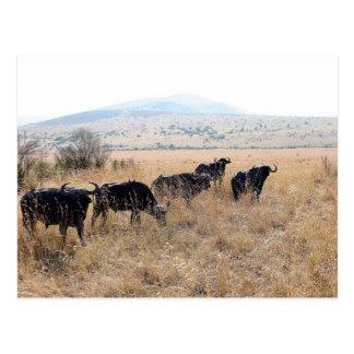 マサイ族マラのアフリカの水牛 ポストカード