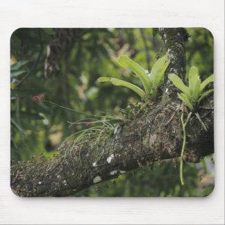 マツピンク、マンゴで咲くBletiaのpurpurea マウスパッド
