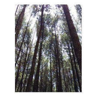 マツ森林 ポストカード