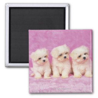 マルタ犬; 白い犬の小さい品種はあります マグネット
