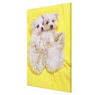 マルタ犬; 白い犬の小さい品種はそれあります キャンバスプリント