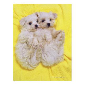 マルタ犬; 2白い犬の小さい品種はあります ポストカード