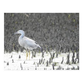 マングローブの鷲 ポストカード