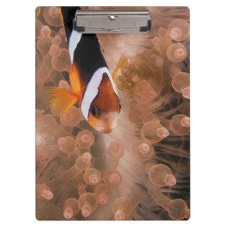 ミクロネシア、パラオ諸島、Anemonefish クリップボード