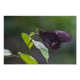 ミシェールDiehl著黒いおよび紫色の蝶 フォトプリント
