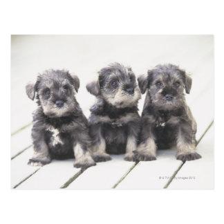 ミニチュア・シュナウツァーは小さい犬の品種です ポストカード