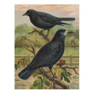 ミヤマガラスのヴィンテージの鳥のイラストレーション ポストカード