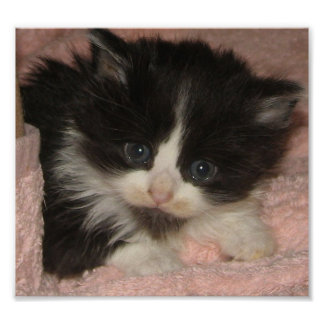 メインのあらいぐまの子ネコ ポスター