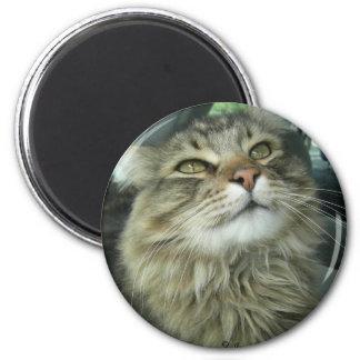 メインのあらいぐまの子猫 マグネット