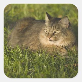 メインのあらいぐま(国内猫の最も大きい品種) スクエアシール