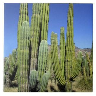 メキシコのソノラ、San Carlos。 サグアロ及びオルガン管 タイル