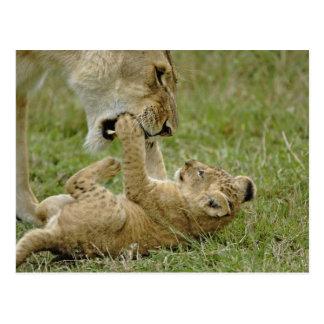 メスのライオン、マサイ語マラと遊んでいるライオンの子 ポストカード